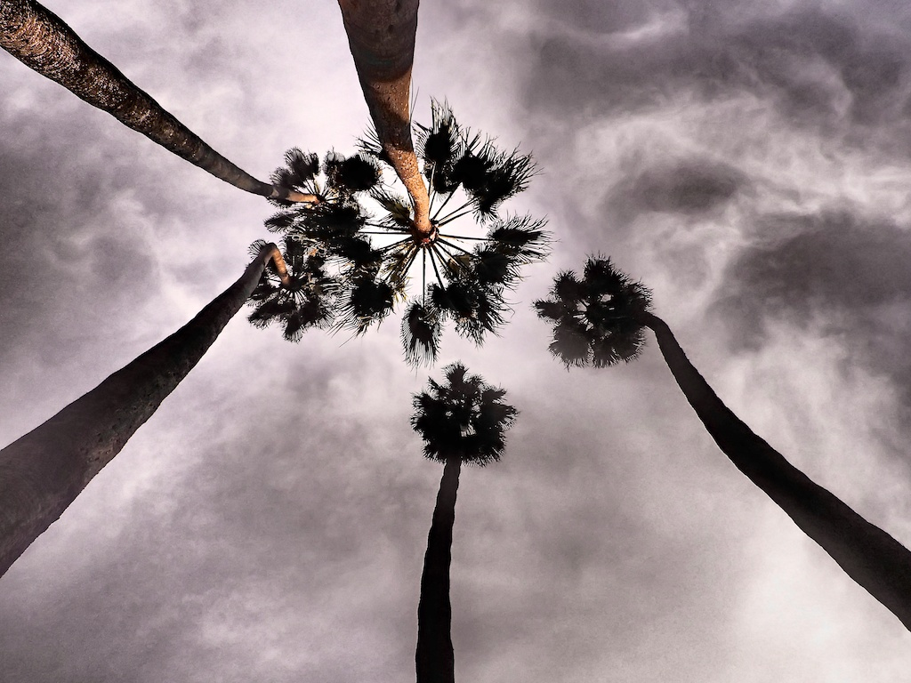 Palms in Pasadena